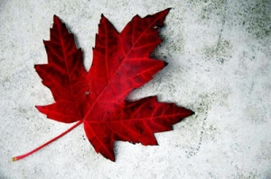 A beautifully shot maple leaf, positioned atop some rustic concrete to symbolize Canada